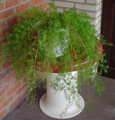 ампельные растения для сада фото
