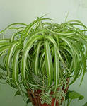 Хлорофитум выращивание и уход в домашних условиях