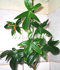 филодендрон размножение и выращивание в домашних условиях