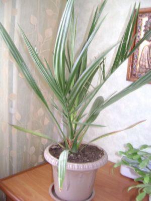finikivay palma2