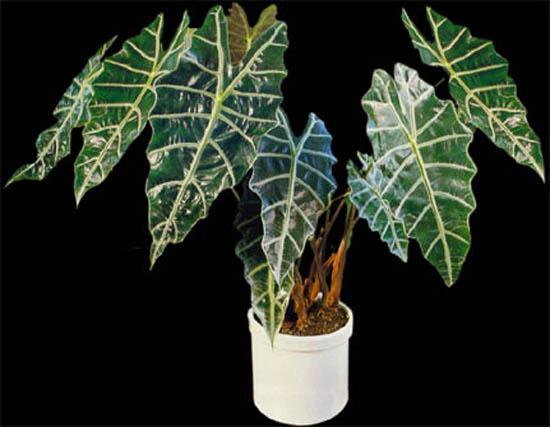 Алоказия выращивание в домашних условиях