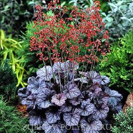 гейхера выращивание в саду