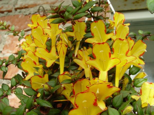 колумнея фото растения