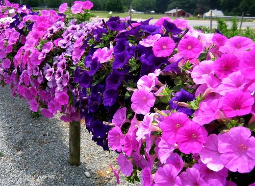 петуния выращивание и уход