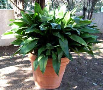 Аспидиастра выращивание и уход