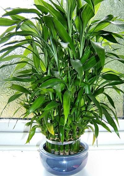 драцена сандера - комнатный бамбук