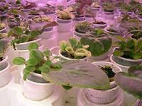 сенполии выращивание и уход фото
