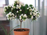 мирт цветок