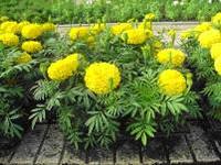 низкорослые цветы для клумбы фото и названия