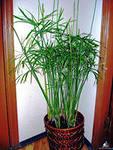 ciperus. p jpg