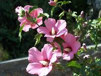 гибискус садовый посадка и уход