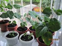 гибискус выращивание и уход