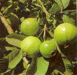 выращивание гуавы