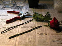 роза из черенка