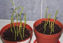 как вырастить розу из черенка в саду