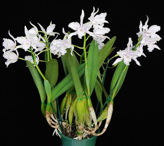 орхидея лелия уход