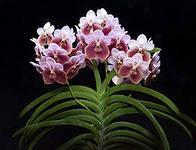 орхидея ванда выращивание и уход