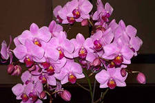 орхидея уход2