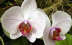 фаленопсис выращивание и уход