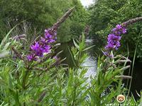 водные растения для пруда