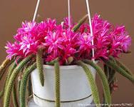 апорокактус выращивание и уход