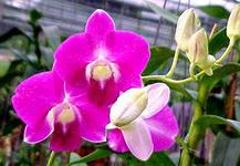 Орхидея Дендробиум