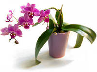 пересадка орхидеи5