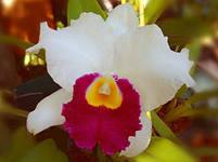 орхидея каттлея посадка и уход