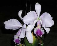 орхидея каттлея3
