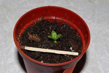 ахименес выращивание и уход