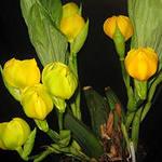 Орхидея Ангулоа