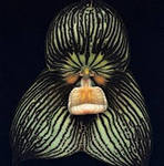 орхидея Дракула посадка и уход