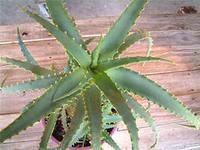 алоэ неприхотливое комнатное растение
