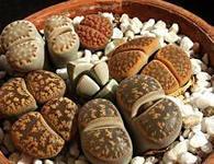литопсы живые камни выращивание и уход фото