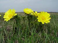 адонис выращивание и уход