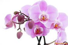все об орхидеях комнатных