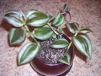 зебрина выращивание и уход в домашних условиях