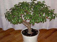 Крассула денежное дерево выращивание