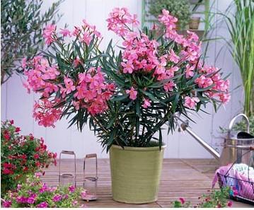 олеандр выращивание в домашних условиях