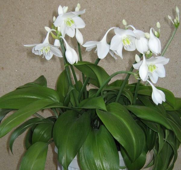 амариллисовые растения фото