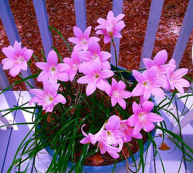 амариллисовые растения