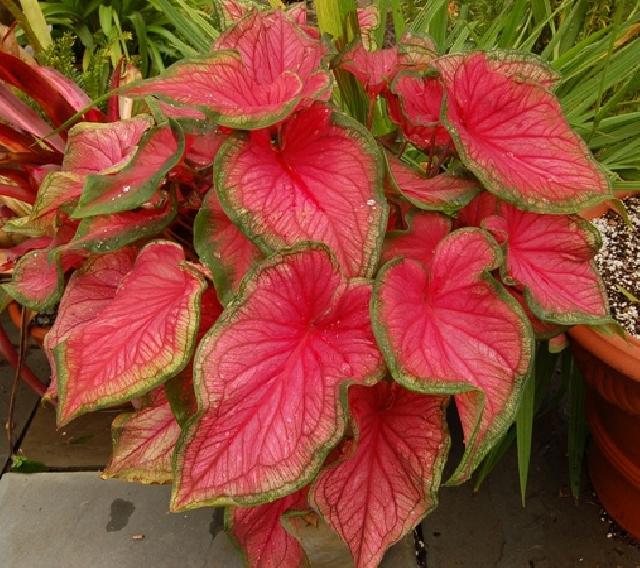 ароидные растения