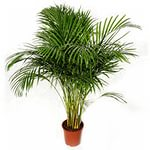 пальма арека1