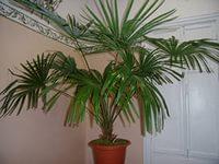 трахикарпус выращивание в домашних условиях