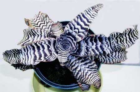 Криптантус поперечно-полосатый
