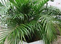 пальма арека4
