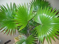 семейство Пальмовых