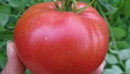 томаты1