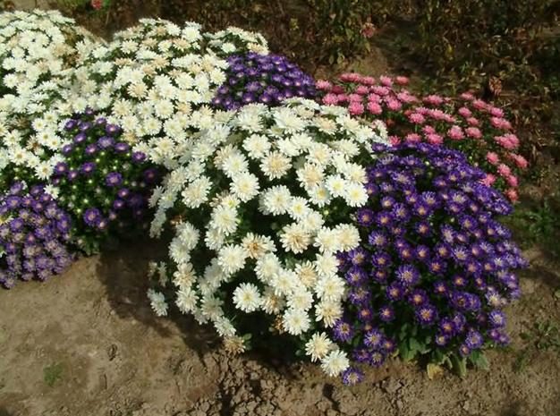 выращеные на открытом грунте цветы