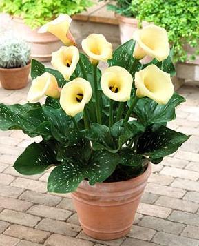 каллы конатные цветы